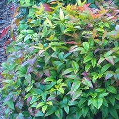 Nandina domestica 'Nana' Sacred Bamboo Hardy, tenacious, low maintenance evergreen shrub, with varying scarlet-bronze tones of foliage in cooler months. Only 60cm or so around, ideal for pots and containers, no-clip low borders and edges. Hot dry sites give brighter colour. Hugely popular with our customers. #foliage#hardy