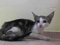 THE NYCACC WILL EUTHANIZE THIS KITTEN, AND OTHERS, UNLESS A HOLD IS PLACED ON HER BY NOON TOMORROW, 7/18/14.  LOG IN HERE TO SAVE HER LIFE....  http://www.nycacc.org/PublicAtRisk.htm  ........Brooklyn Center  My name is LISA. My Animal ID # is A1006524. I am a female brn tabby and white domestic sh. The shelter thinks I am about 12 weeks old.