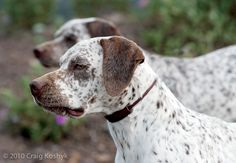 Pointing Dog Blog's Breed of the Week: The Braque du Bourbonnais Braque Du Bourbonnais, Farm Animals, Cute Animals, Every Dog Breed, Hunter Dog, Rare Dogs, Dog List, Purebred Dogs, Vizsla