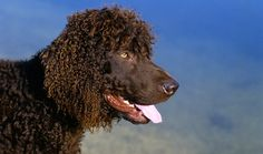 Everything you want to know about Irish Water Spaniel, including grooming, training, health problems, history, adoption, finding a good breeder, and more.