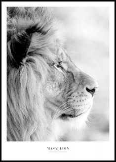 Masai Lion Poster : Beautiful black and white portrait of a lion from the Masai Mara. The Masai Mara is a nature reserve southwest of Kenya. Two rivers flow through the reserve, the Talek and the famous Mara river. Black And White Lion, Black And White Posters, Black And White Portraits, White Art, Morning Sun, New York Poster, Nature Posters, Love Posters, Poster Collage