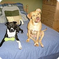 American Pit Bull Terrier Mix Dog for adoption in Sarasota, Florida - Ziggy and Marley - Bonded Pair