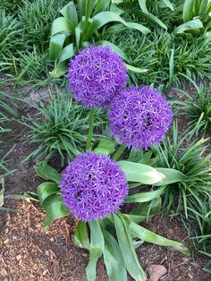 Purple Pom #brooklyn
