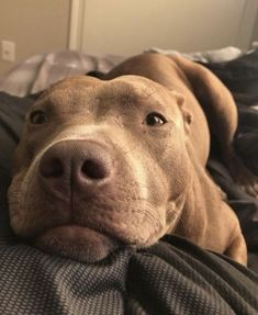 pitbull dog October is Pit Bull Awareness Month, and its a great time to share some positive stories of Pit Bull type dogs. Amstaff Terrier, Amstaff Puppy, Pitbull Terrier, Bull Terriers, Husky Puppy, Terrier Dogs, Boston Terrier, Cute Puppies, Cute Dogs