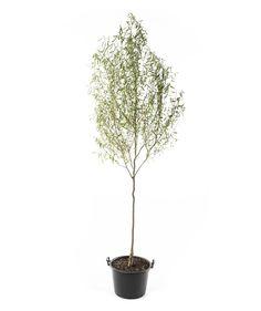 Corkscrew Willow - single stem