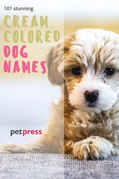 Cream-colored dog coats are very popular, many breeds have this beautiful color. Here are cream dog names that will fit your puppy perfectly!