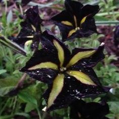 From hubby's Black flower garden.