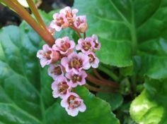 Begonia de invierno