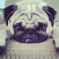 Pug face #pugfanatic