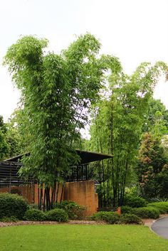 Bambusa lako / Timor Black Bamboo