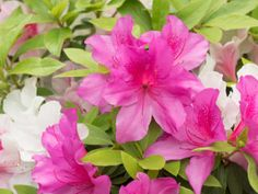 Hardy Azalea Varieties: How To Choose Zone 5 Azalea Shrubs - People who live in northern climates can have beautiful azaleas, too. In fact, most azaleas are hardy in zones and since they can suffer from excessive heat, northern climates can be perfe Azalea Shrub, Azalea Bush, Best Herbs To Grow, Growing Herbs, Bushes And Shrubs, Flowering Shrubs, Garden Ideas What To Plant, Zone 5 Plants, Shrubs For Landscaping