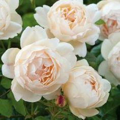 """Wollerton Old Hall Austinros: """"den mest väldoftande av årets nya sorter och en av de mest väldoftande av alla engelska rosor. Distinkt myrradoft"""""""