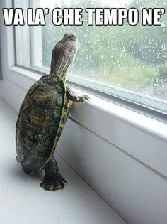 The popularity of tortoises as pets has increased over time. This is because they are silent, they do not shed any far and they are cute. They are most cute Cute Baby Animals, Animals And Pets, Funny Animals, Wild Animals, Reptiles Et Amphibiens, Turtle Love, Pet Turtle, Tiny Turtle, Tribal Turtle