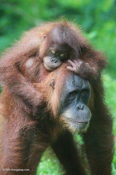 Baby orangutan hugging its parent