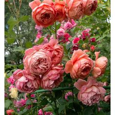 Beautiful English roses.. #davidaustin