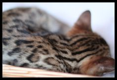 Ujamaa Bengal Kitten Sleeping