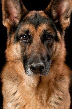 German Shepherd beauty