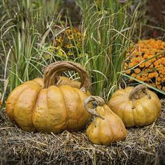 Cast stone Cinderella pumpkin set comes in three adorable sizes and is made of concrete pumpkins. Hand sculpted rustic stem is perfect for Fall and Halloween decoration with multiple vibrant finishes available by Athena Garden.