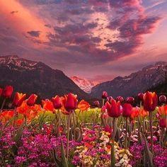 Долина тюльпанов, Интерлакен, Швейцария