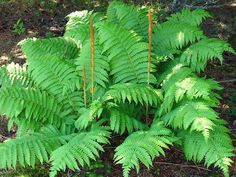 """PLANT SPECIFICATIONS Common Name:Cinnamon Fern Perennial : deciduous in zones 7 & 8 Exposure: shade Height: 30 - 60""""  Space:18 - 24"""" Sold & Shipped: 1 gal pots Attributes:large feathery light green foliage, cinnamon colored fronds, contrasting coloring and textures, easy to grow  Cinnamon Ferns display light green foliage which contrast with plum like cinnamon colored fronds that grow at the center of the plant. Beautiful textures and color compliment to the shade. Pair with ..."""