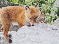Fox, Animals, Animais, Animales, Animaux, Animal, Foxes, Red Fox