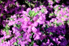 15 Low-Maintenance Shrubs - This Old House Summer Flowers, White Flowers, Cat Friendly Plants, Japanese Barberry, Landscaping Shrubs, Landscaping Design, Tall Shrubs, Low Maintenance Shrubs, Hydrangea Quercifolia