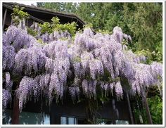 Wisteria (1024x768) maybe this vine for front porch ...love it