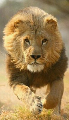 DAMM!! THAT IS ONE VERY BEAUTIFUL LION♥