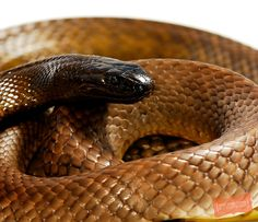 Inland Taipan (fierce snake) ~ Australia ~ the world's most venomous land snake.  Very shy and retiring, prefering to avoid confrontations but can deliver up to seven bites in a single attack.