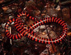 American Pipe Snake (False Coral Snake) - Anilius scytale - Native to the tropics of northern South America. It is found from southern and eastern Venezuela, Guyana, Suriname and French Guiana, south through the Amazon Basin of Colombia, Ecudor, Peru and Brazil