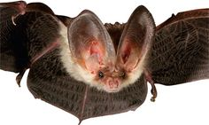 The brown long-eared bat or Common is one of Britain's 17 breeding species. Photograph: Corbis.