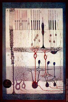 Esquema de la retina de Santiago Ramón y Cajal. Imagen: Instituto Cajal, CSIC, Madrid  Mutaciones en el gen ATF6 producen un tipo de ceguera a los colores - Genética Médica
