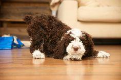 I ❤Poncho #perro de agua español #spanish water dog