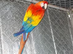 Scarlet Macaw Male - Adult Englewood, Florida 34223