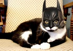 Bat cat.  (I usually don't like dressing up animals for amusement, but I can't resist this.)