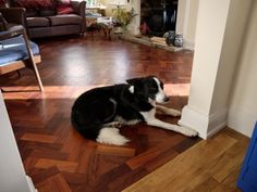 A comfy collie on a Rhodesian Mahogany parquet floor as supplied by Parquet Parquet