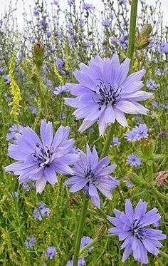 Chicory (Cichorium intybus) opens intense sky-blue in the a.m. and fades to stonewashed denim by the afternoon.