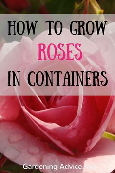 Roses In Containers - Rose Bush Care For Pots Growing Roses In Containers adds great summer color to your patio year after year. Learn how to grow roses and taking care of them in pots. Growing roses in pots is easier than you might think. Learn all about Rose Bush Care, Rose Care, Rose Plant Care, Container Plants, Container Gardening, Flowers In Containers, Succulent Containers, Organic Gardening, Gardening Tips