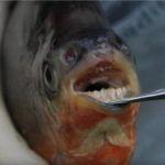 Piranhas With Human-Like Teeth Found in Michigan