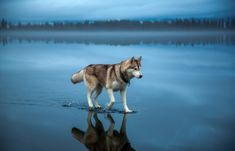 See more Beautiful Siberian Husky Dog photos,. - Where Is My Husky - Husky Beautiful, Funny Momment Photos Sibirsk Husky, Brown Siberian Husky, Siberian Huskies, Cool Pictures, Cool Photos, Amazing Photos, Funny Pictures, 2 Photos, Creative Photos