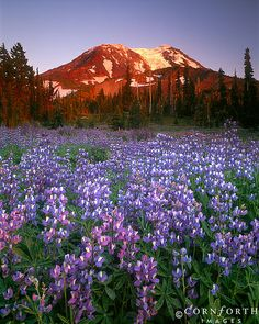 Mt Adams Wildflowers / USA, Washington, Mt Adams Wilderness, Spectacular summer display of lupine at sunset