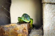 Nahaufnahme einer grünen Smaragdeidechse auf einem Mauerstein