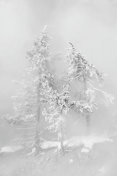 Frost covered trees in mist of hotspring - Yellowstone National Park, California