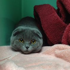 Scottish fold cat - which would Charlie prefer? The chocolate or this little lovely??