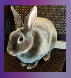 Apple is an adoptable Mini Rex Rabbit in Temecula, CA. Apple is a friendly Mini-Rex girl with silky soft, velvety fur. She will do best in a home with children over the age of 10, or in an adult home....