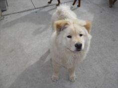 Ken-A-Dee is an adoptable Chow Chow Dog in Marina del Rey, CA. Ken-A-Dee was born 12/14/09. She is an adorable cream Chow Chow girl. A sweet chow girl rescued from a horrible backyard breed in Southga...