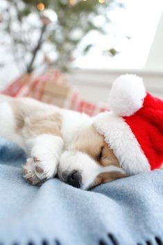 Santa Baby Corgi - Move Over Santa - These Animals Wear Your Hat Better Than You - Photos