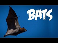 All About Bats for Kids: Animal Videos for Children - FreeSchool - YouTube