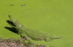 Green algae covered crocodile in The Gambia