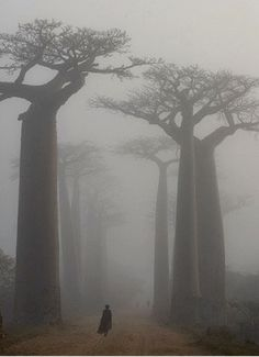 General Knowledge    Into the beautiful Baobabs - Madagascar.  These ancient trees are so beautiful, luckily many of them have survived throughout Africa as their pulp type wood has no value for charcoal traders.